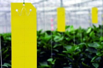 Chemical options to kill whitefly