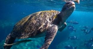 Schildkröte Similan Island, Thailand