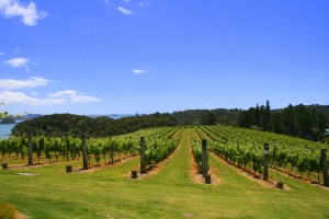 Vineyard near Russell  BAY OF ISLANDS PRIVATE TOUR WITH THE WINE TASTING 06 IMG 4820 300x200
