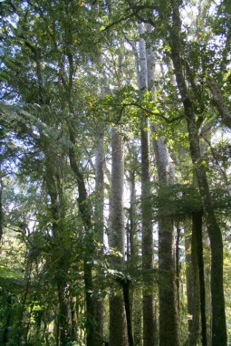 Kauri Forest in Bay of Islands  Puketi & Omahuta native forest in Norsland 02 IMG 4904 683x1024