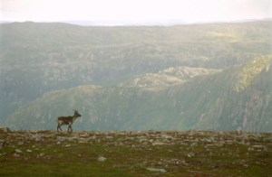 deer on mountain