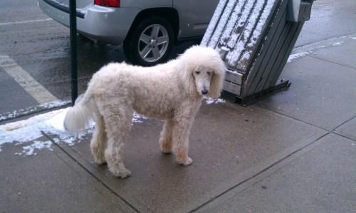 poodle dog, Jasper, Canada
