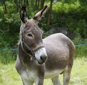 mule Image source: : http://images.wisegeek.com/mule-near-grass.jpg