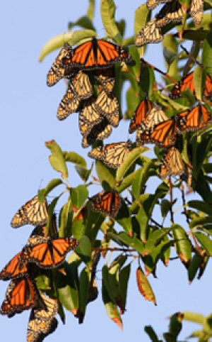 Monarchs hibernating Image source: http://www.thebutterflysite.com/butterfly-migration.shtml
