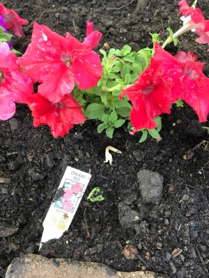 Dreams Red petunias