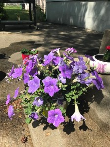 purple potted petunias