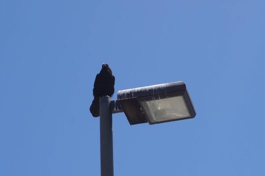 black raven or crow