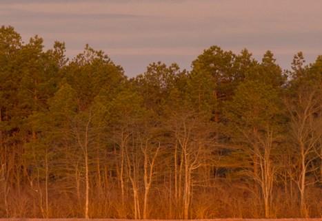 Tundra Swans during Sunrise and Full Snow Moon Set at Whitesbog NJ
