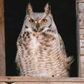 Owl photographed by Raymond W. Stilborn.