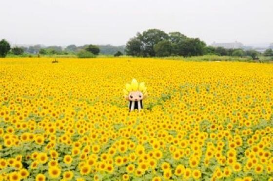 hoa hướng dương zama kanagawa