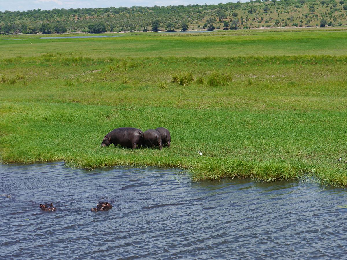 Nilpferde in Namibia