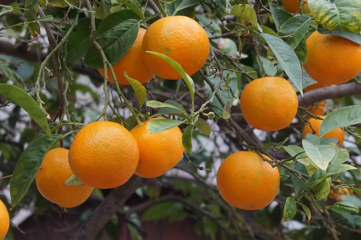 Orangenhaine von Sóller