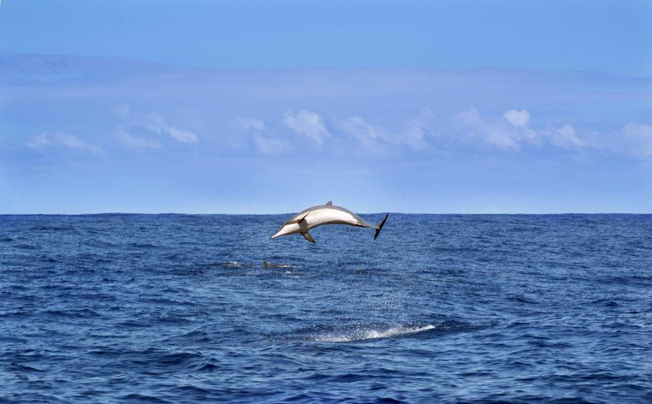 Delfin vor La Reunion