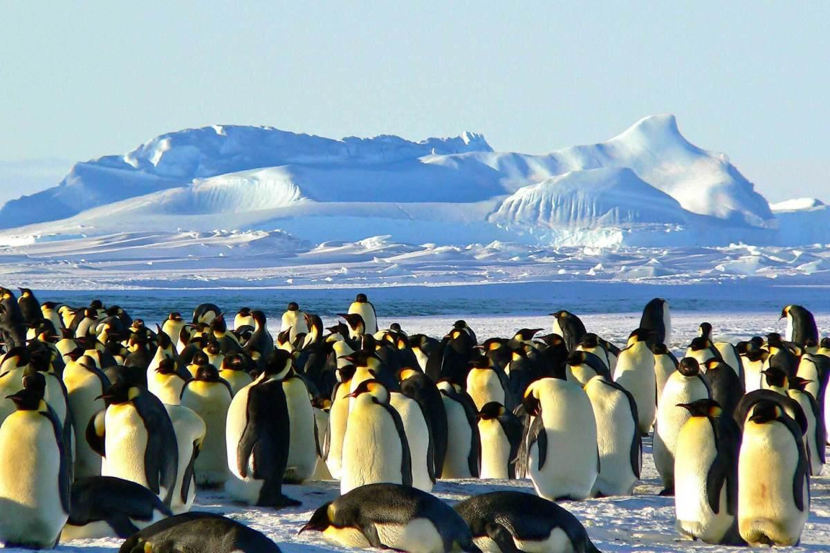 Königspinguine in der Antarktischen Halbinsel