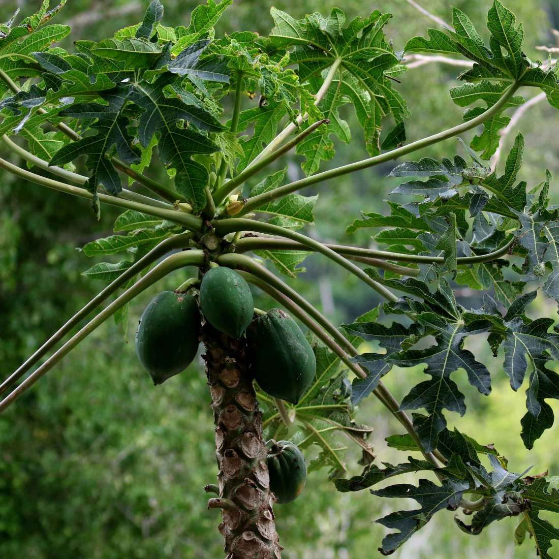 Papaya-Baum