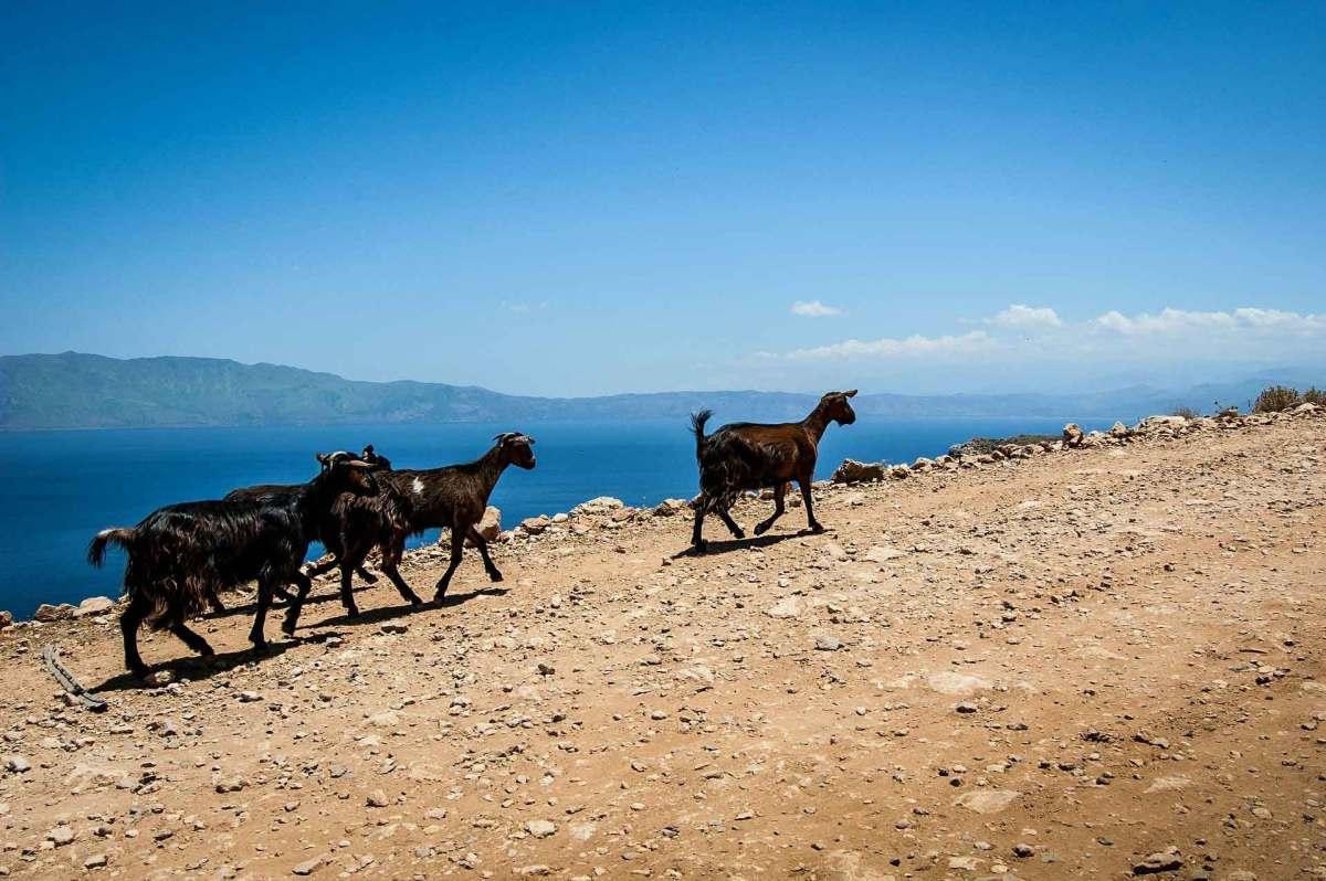 Mit Ziegen auf Kretas steinigen Wegen wandern