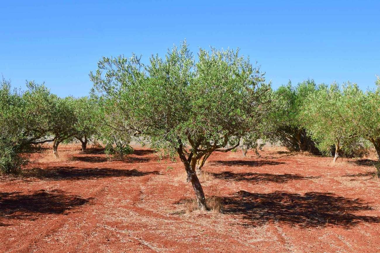 Spaziergang durch die Olivenbäume