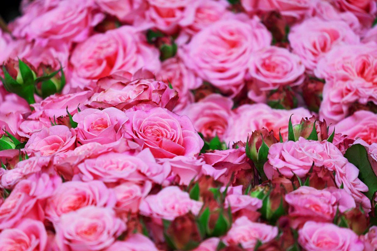 """Bulgarische Rosen """"Rosa damascena"""""""