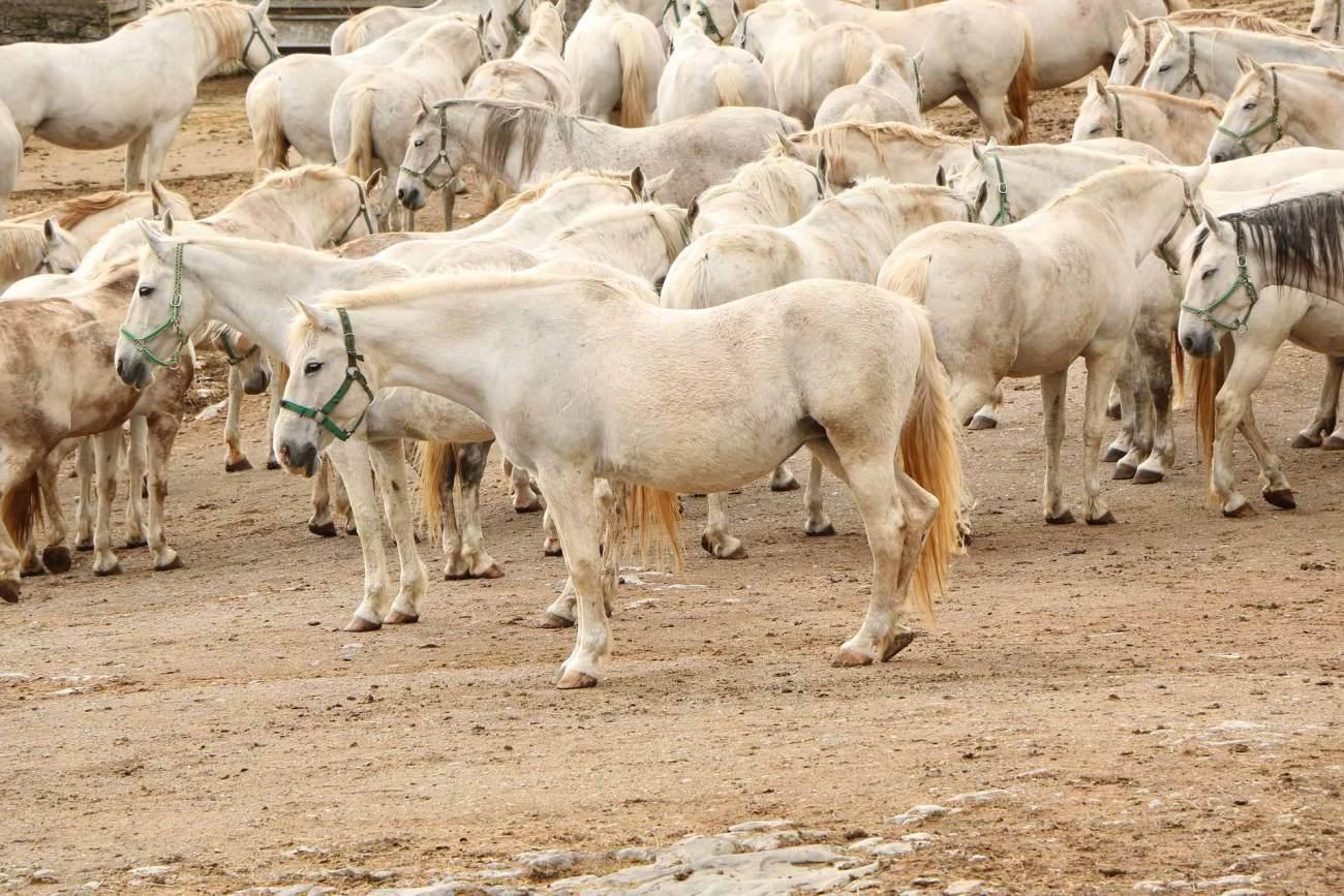 Lippizaner Pferde Lipica, Slowenien