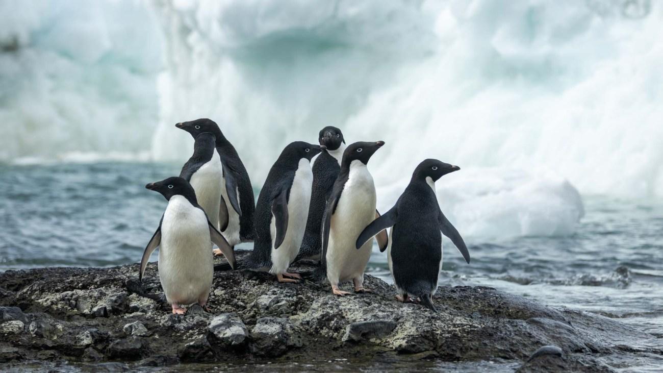 Pinguine, Brown Bluff, Antarktis