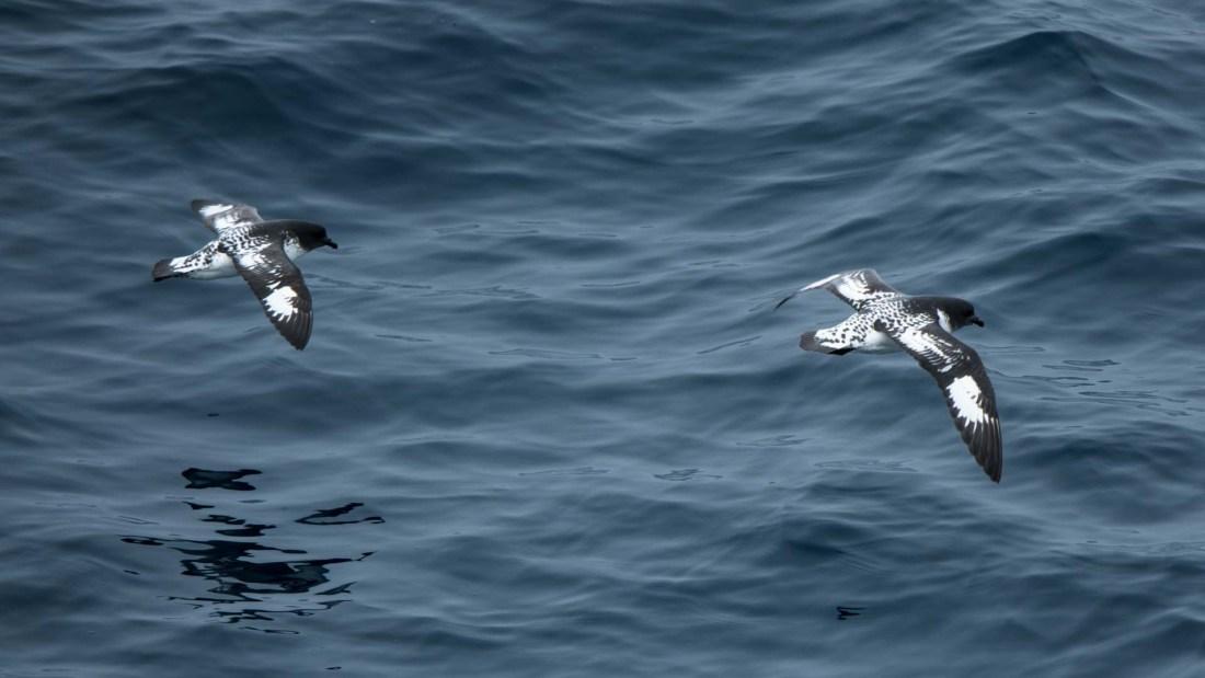 Seevögel, Moltke Bay, Südgeorgien