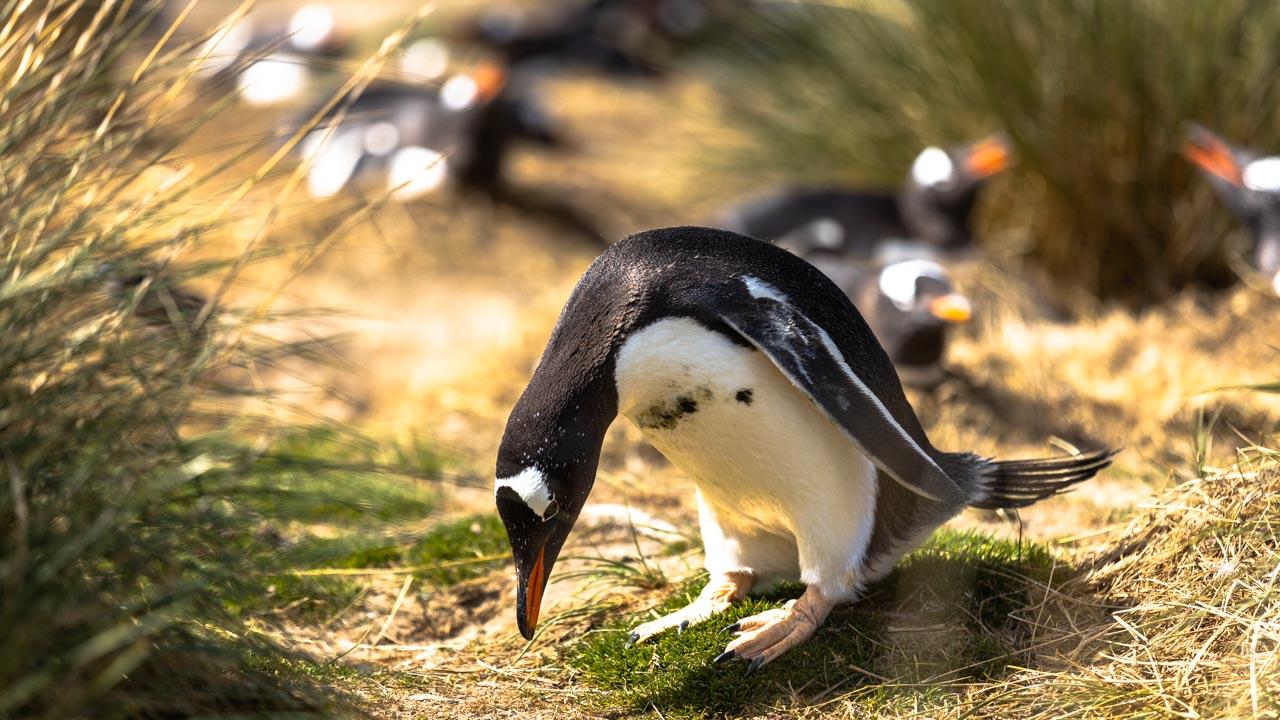 Gentoo Pinguin, Grave Cove, Falkland Inseln
