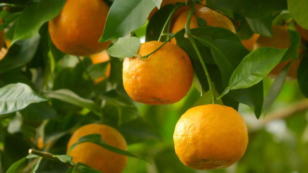 Orangenbäume in Sevilla