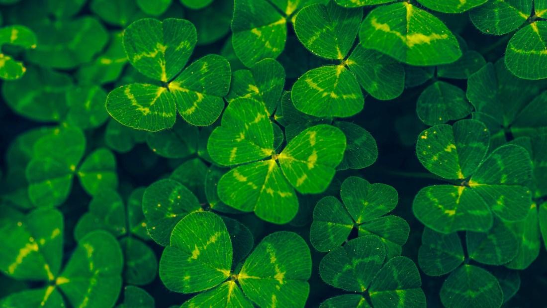 Das Nationalsymbol der Iren - Dreiblättriges Kleeblatt