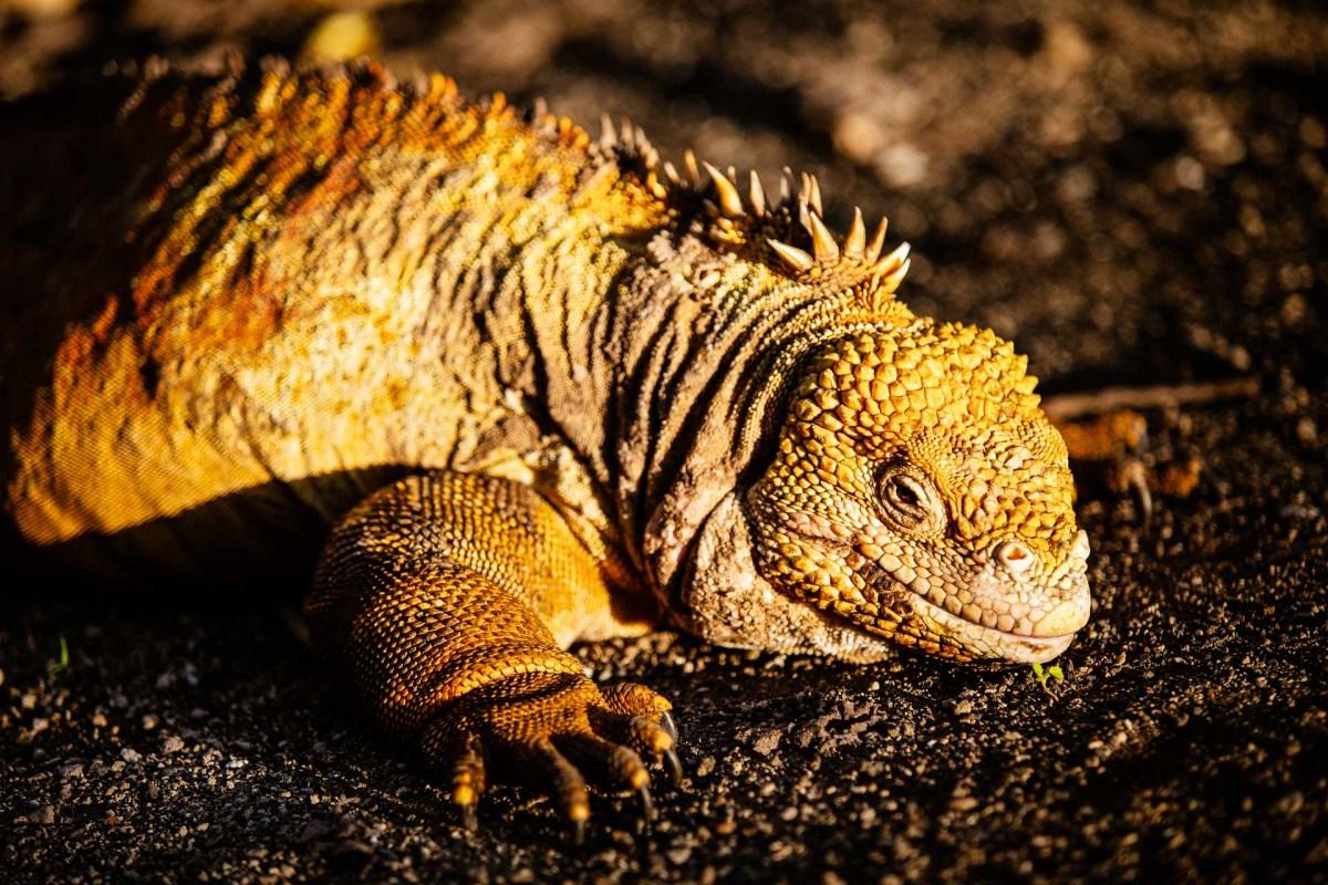 Galapagos, Iguana Lizard