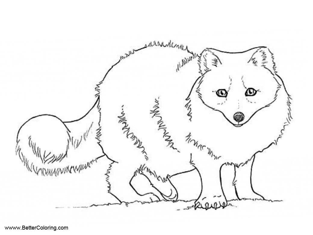 Beautiful Arctic Fox Polar Fox Coloring Page For Free