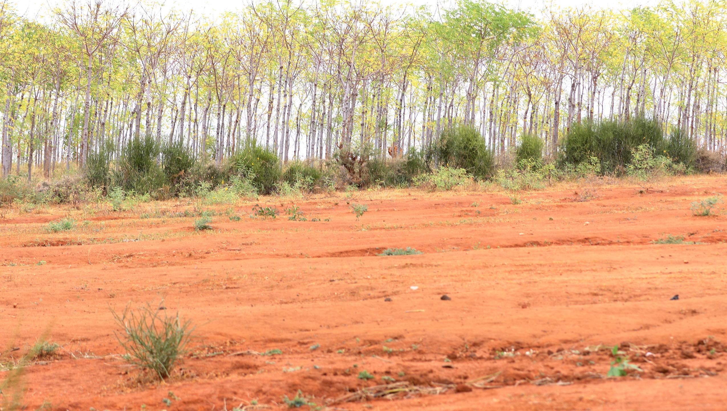 Plantning af træer i halvørkenen