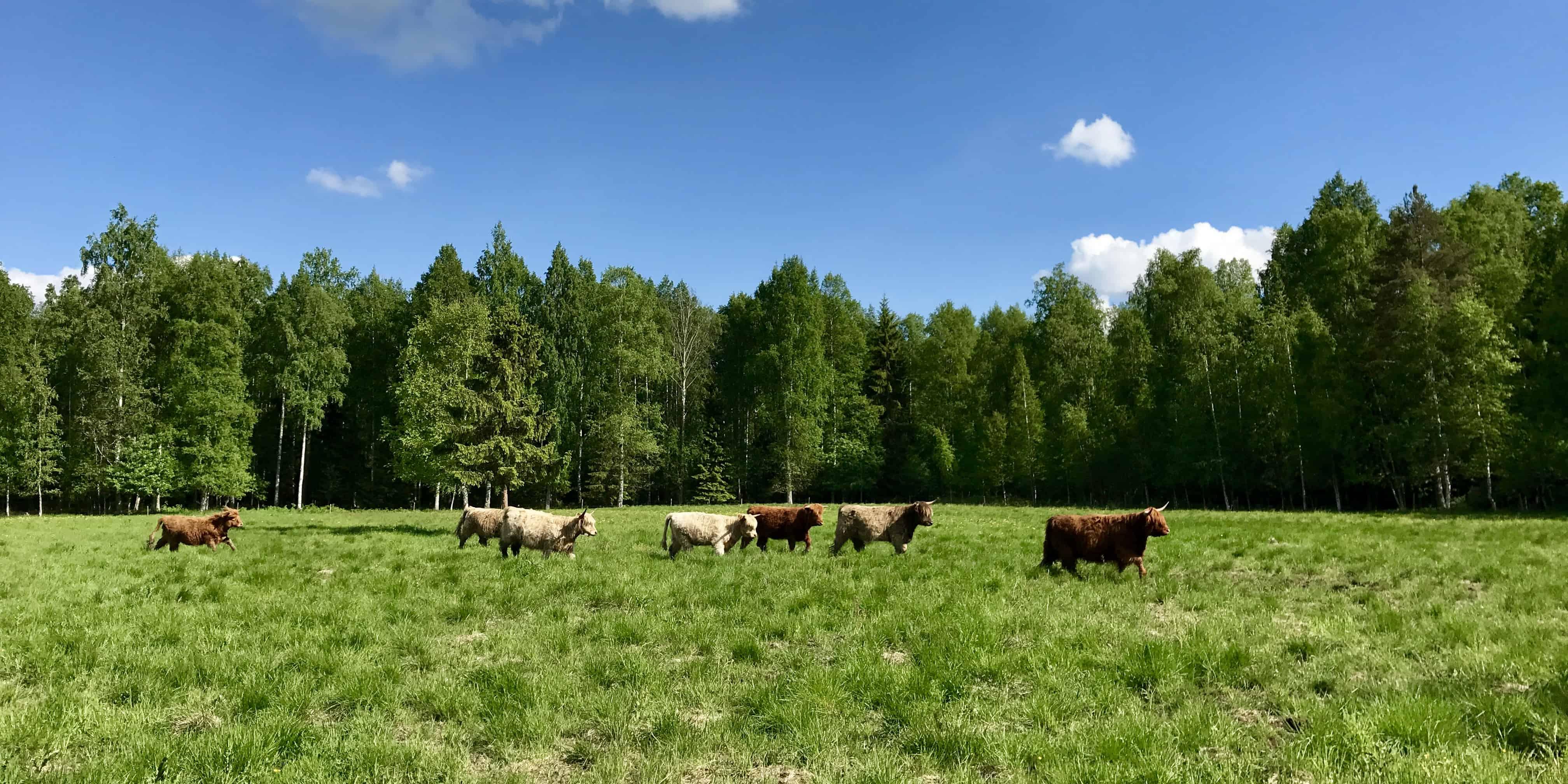Highland Cows Mantereen Tila Finland betternotstop