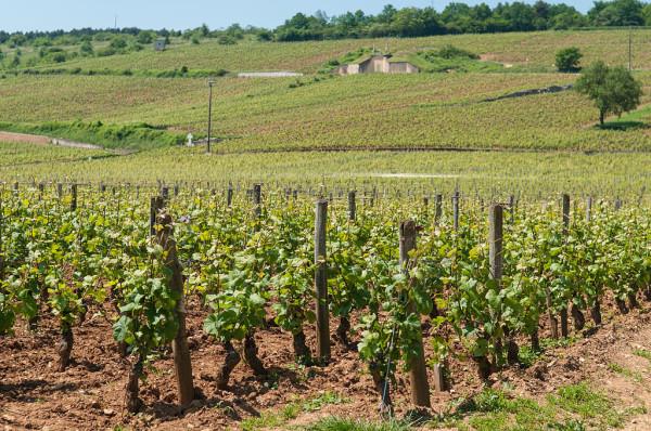 1024px-Romanée-Conti_vineyard_(7309833460)