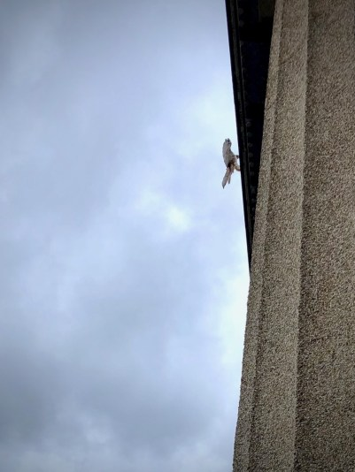 This hawk kept chasing the pigeon flock taunting it on the roof of the Pantheon