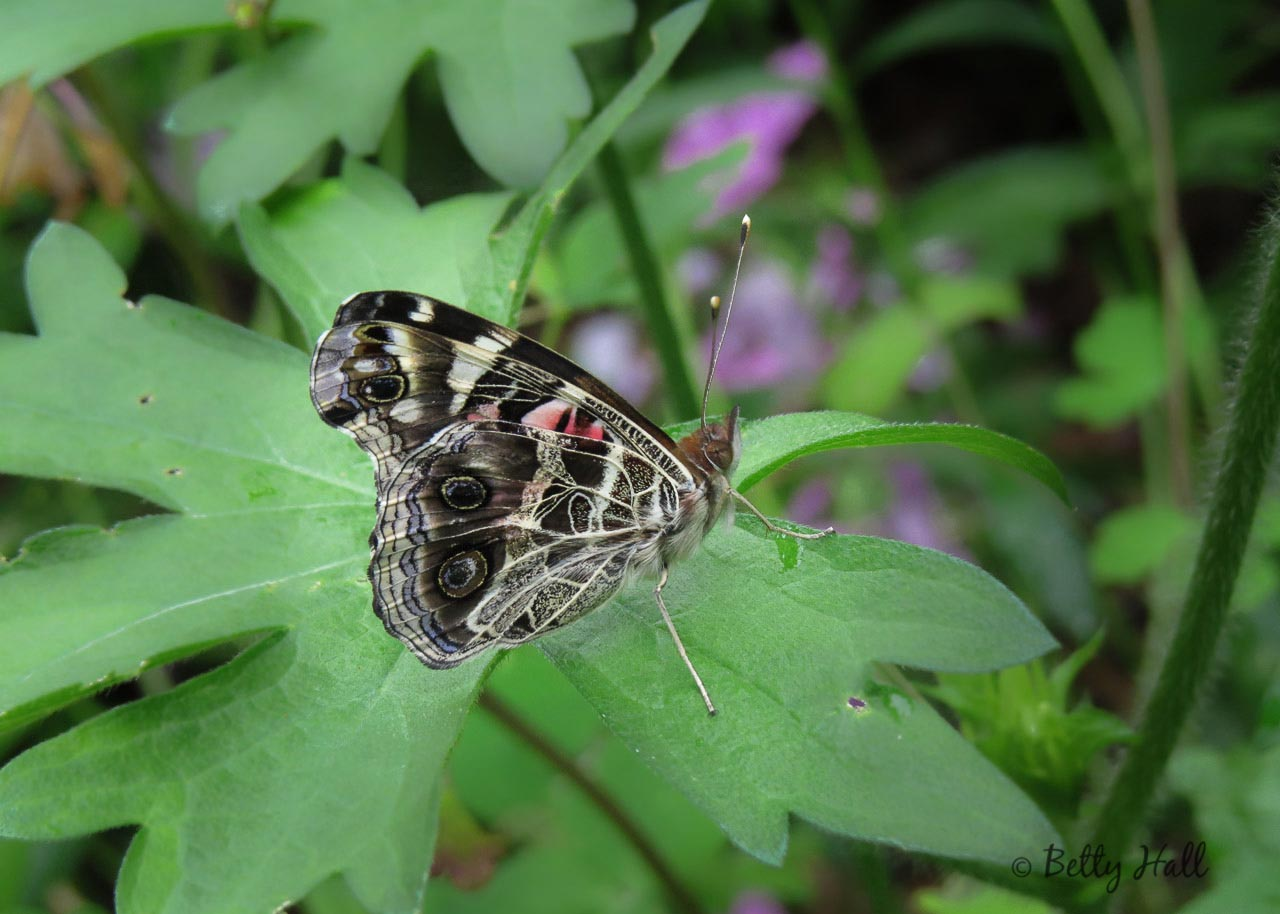 American Lady Butterfly Life Cycle