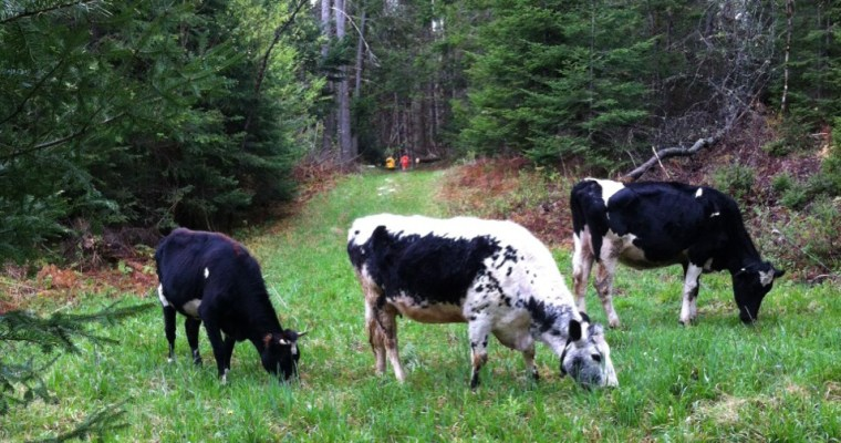 Frolicking Cows in Springtime