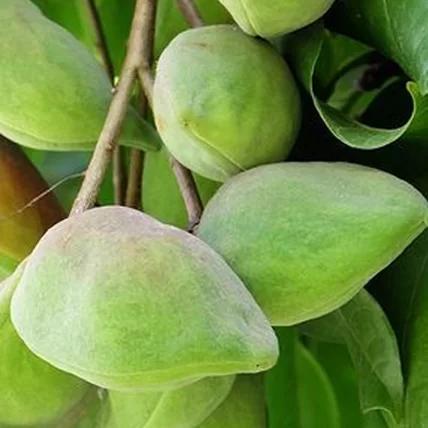 Feuilles de prune de kakadu