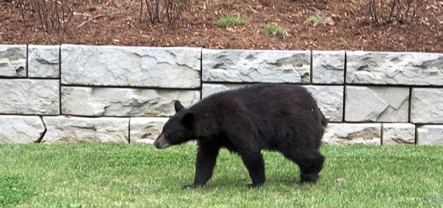 Agents Answer: Where are the Best Places to Spot a Bear in WNC?