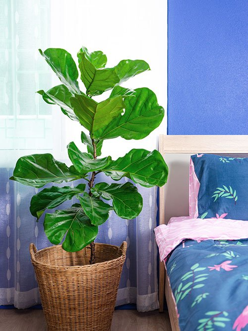 Are fiddle leaf figs your favorite houseplant? Tell us in the comments