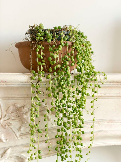 Are string of pearls your favorite houseplant? Tell us in the comments
