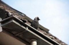 Kauwen nestelen zich onder dakpan in Eckartstraat