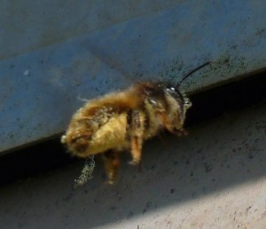 Female red mason bee (Osmia bicornis) with pollen on underside of her abdomnen - the pollen 'scopa'