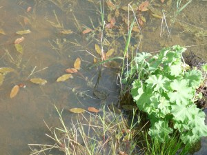 Newly planted lady's mantle (Alchemilla mollis) next to floating sweetgrass (Glyceria fluitans), emerging common reed (Phragmites australis) and the bog pondweed (Potomageton polygonifolius)