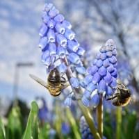 Amsterdam Zoemt | Gratis wilde-bijen-plantenpakket