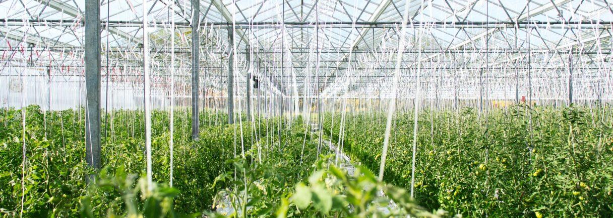 Gemüsepflanzen in einem Gewächshaus