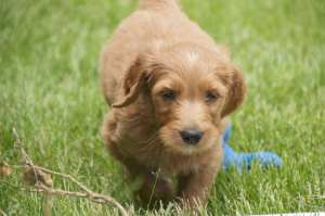 Our GoldenDoodle Puppy Moses