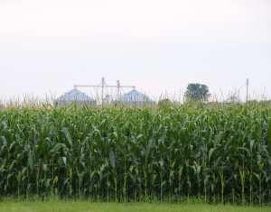 Corn Pollination