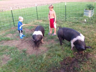 Walking 4-H Pigs