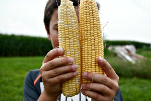 Where does your corn come from? Not all corn in the fields is the corn you can eat.