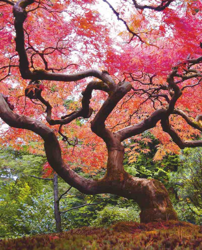 Japanese Maple The Japanese Maple grows in East Asia and Russia and has an average height of between six and ten meters. The tree loses its leaves ian winter and can be grown around the world in temperate zones.